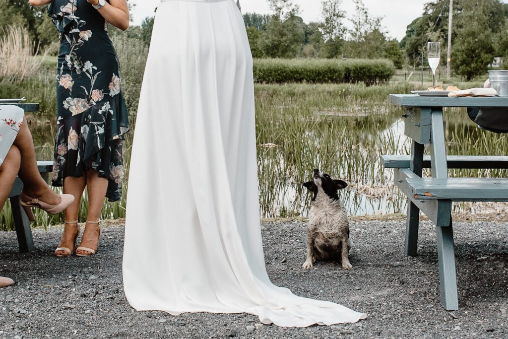 little dog begging for food from the bride