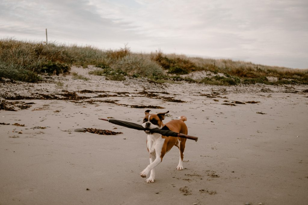 dog running on beach with umbrella in her mouth