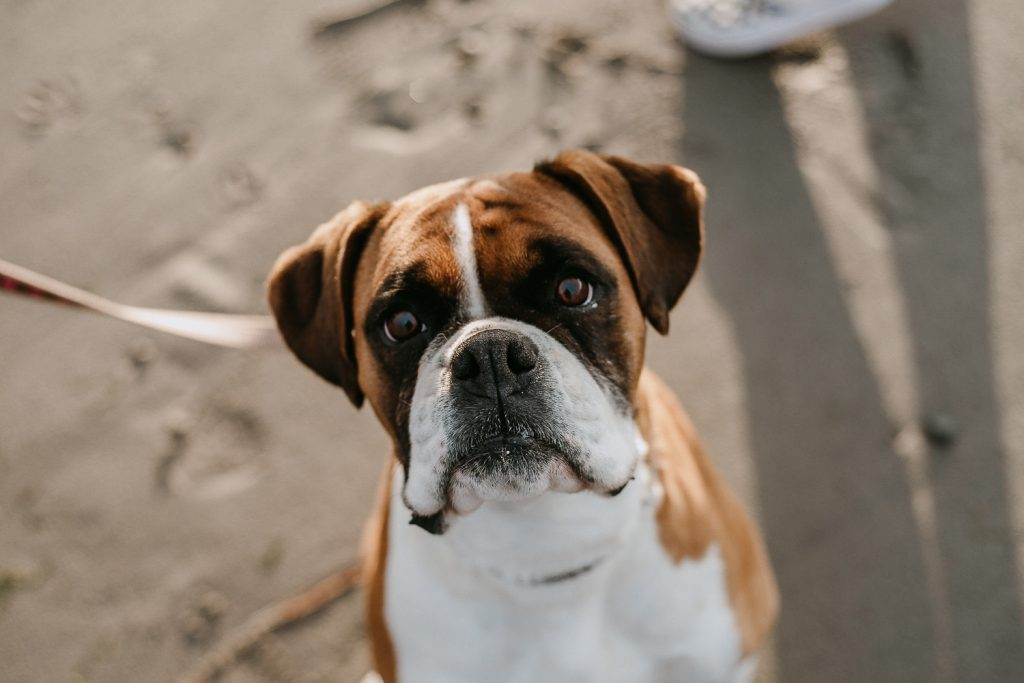 close up of boxer dogs face